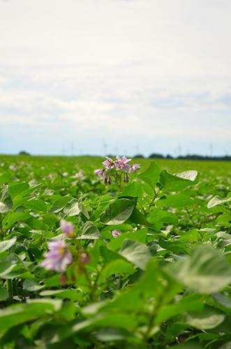 Blühende Kartoffelpflanzen auf dem Kartoffelfeld